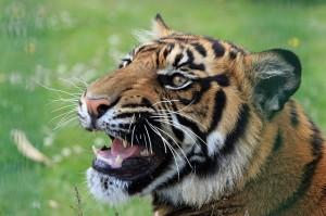 tiger-165039_640